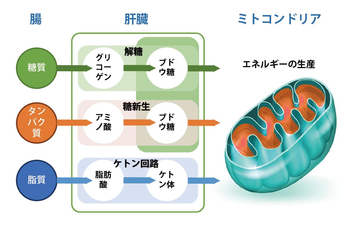 http://ketolea.com/images/image_metabolism.jpg